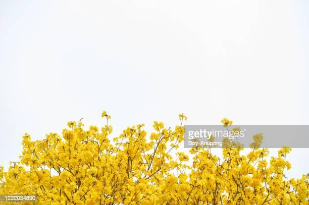 beautiful golden trumpet tree (others name is yellow tabebuia flower) blooming isolated on white background. - bedektzadigen stockfoto's en -beelden