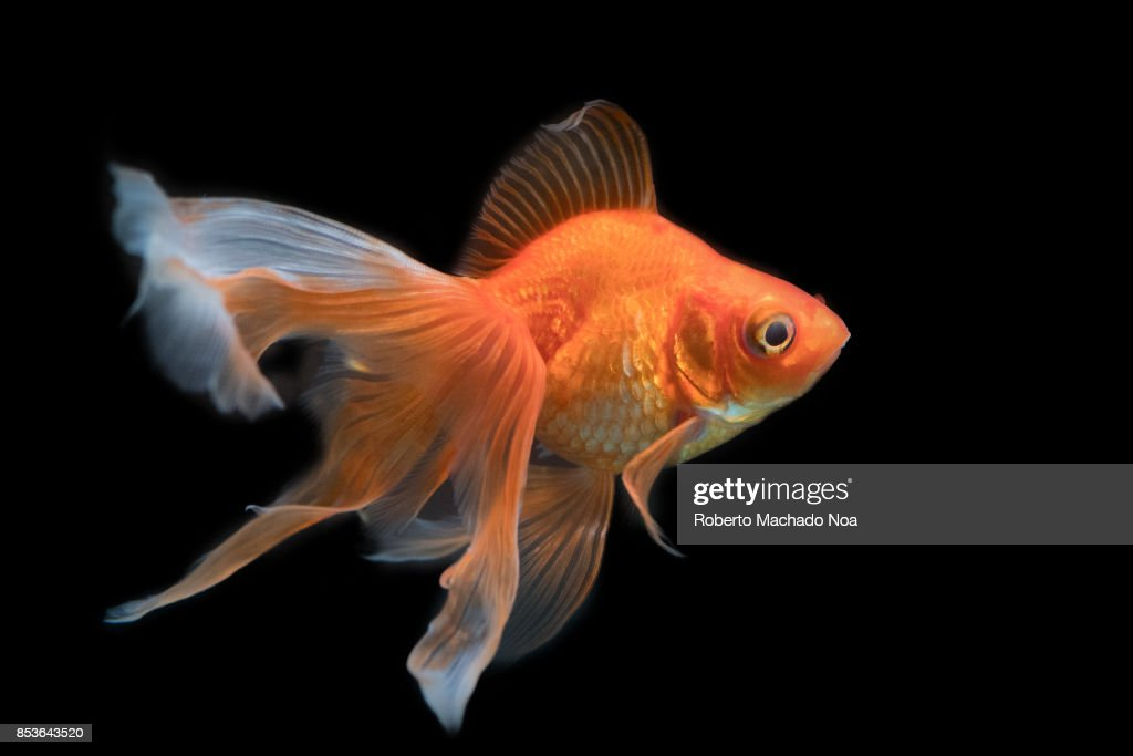Beautiful Goldfish In An Aquarium Tank With A Black Background The News Photo Getty Images