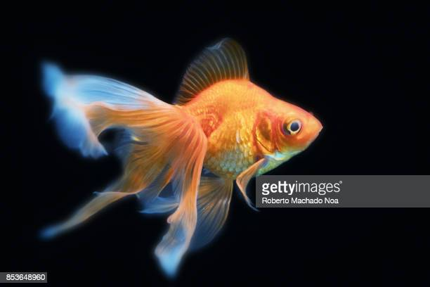 Beautiful goldfish in an aquarium tank with a black background The goldfish is a freshwater fish in the family Cyprinidae It is one of the most...