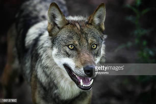 Beautiful Gray Wolf XXXL