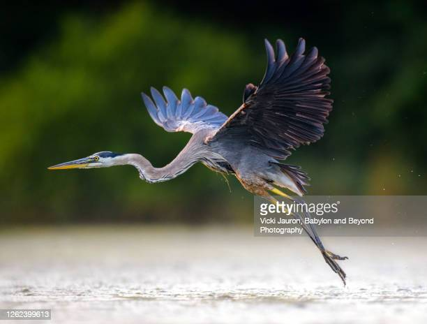 beautiful great blue heron lifting off from pond in pennsylvania - north america stock pictures, royalty-free photos & images