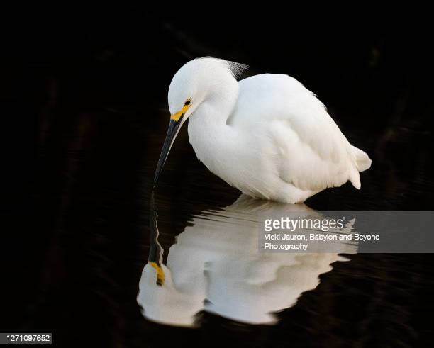 beautiful great white egret looking at perfect reflection in fort myers, florida - 水鳥 ストックフォトと画像