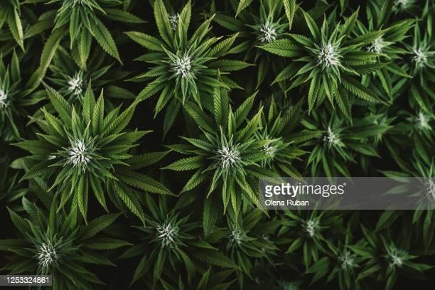 beautiful green leaves of marijuana close up - marijuana leaf stock pictures, royalty-free photos & images