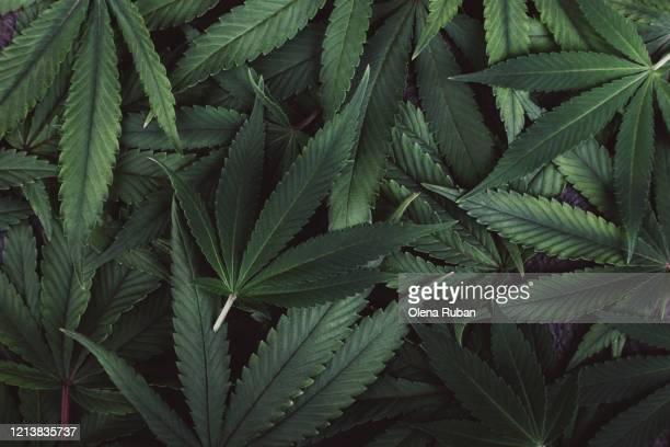 beautiful green leaves of marijuana closeup lie - 大麻草 ストックフォトと画像