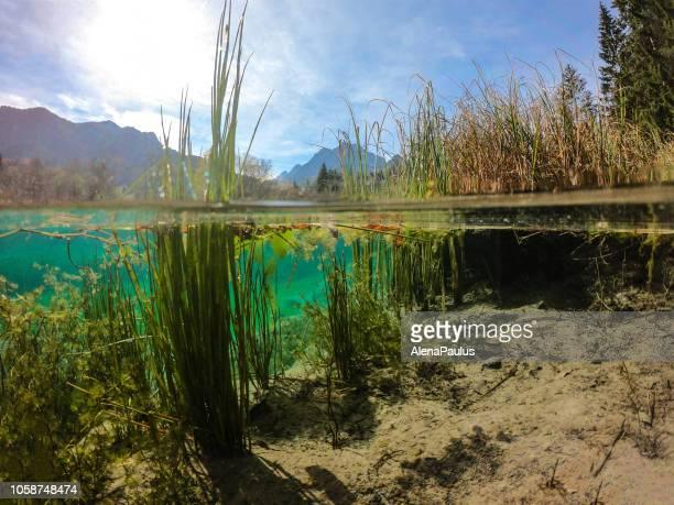 schöne grüne wasser frühling von zelenci im herbst, die hälfte unter wasser und über die hälfte - wasseroberfläche stock-fotos und bilder