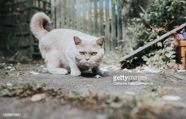 beautiful grey cat crouches in a fighting stance and looks suspiciously at the camera - hunting stock pictures, royalty-free photos & images