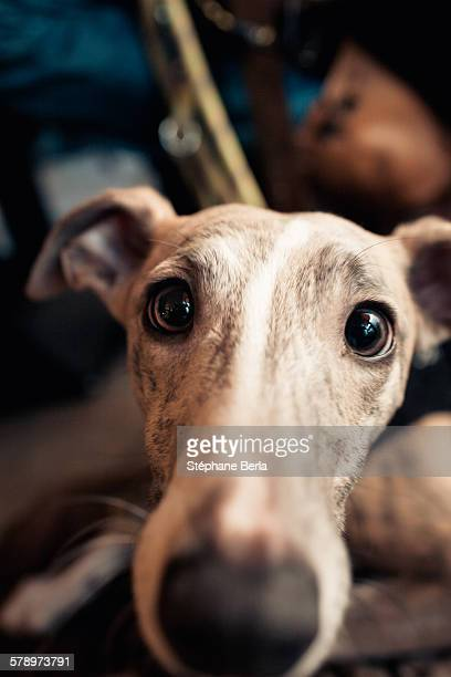 Beautiful greyhound close up