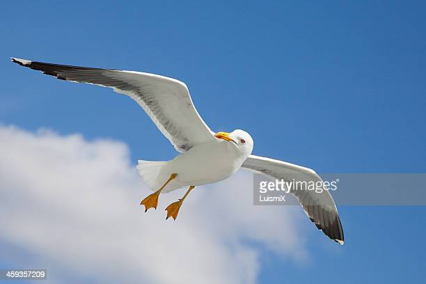 a beautiful gull - gaivota - fotografias e filmes do acervo