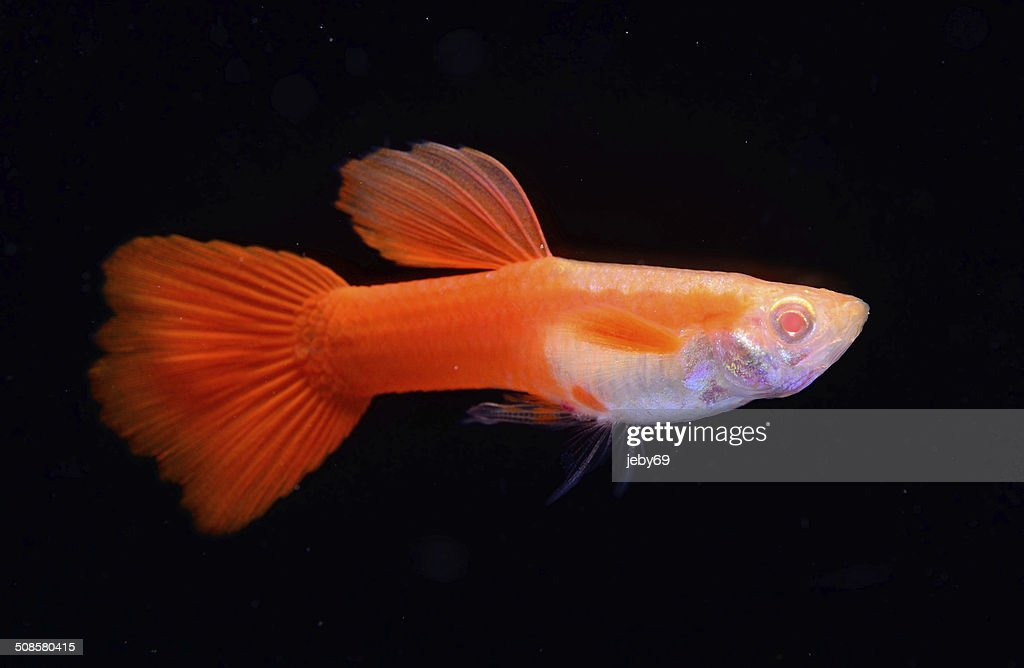 Beautiful Guppy isolated on Black : Stock Photo