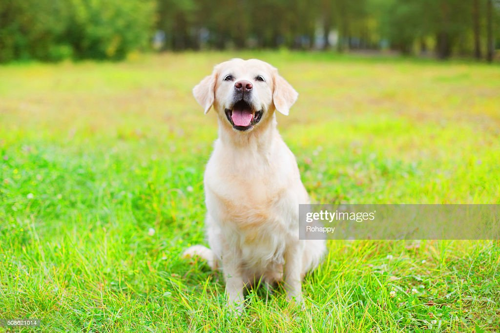 Beautiful happy Golden Retriever dog sitting on grass in summer : Stock Photo