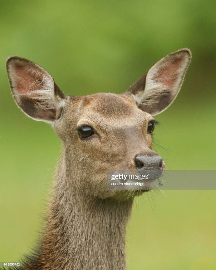 A Beautiful Head Shot Of A Sika Deer Feeding In A Meadow At The Edge