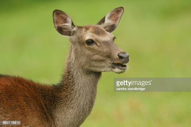 a beautiful head shot of a sika deer (cervus nippon) feeding in a meadow at the edge of woodland. - female animal stock pictures, royalty-free photos & images