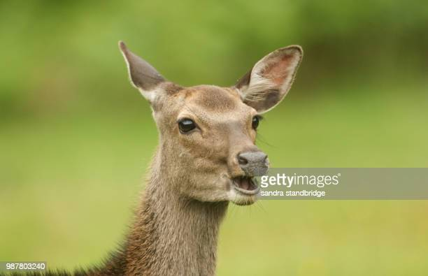 a beautiful head shot of a sika deer (cervus nippon) feeding in a meadow at the edge of woodland. - femmina di daino foto e immagini stock