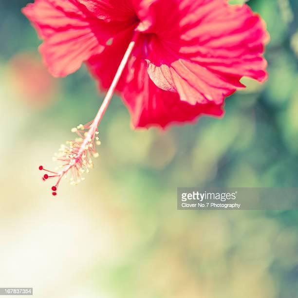 Beautiful hibiscus flower.