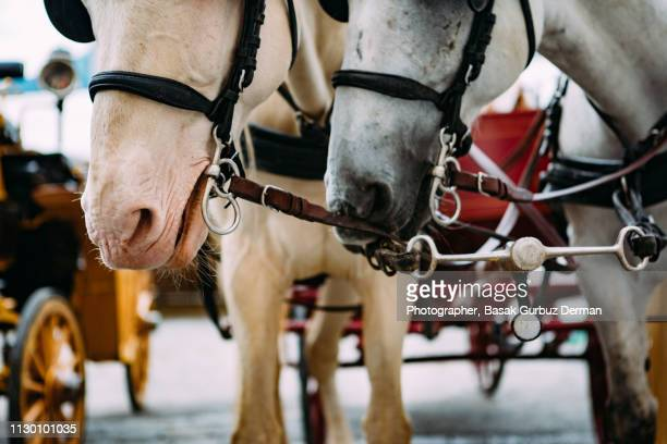 beautiful horses - animal powered vehicle stock photos and pictures