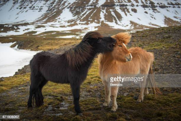 Beautiful Icelandic horses playing in a meadow on winter.
