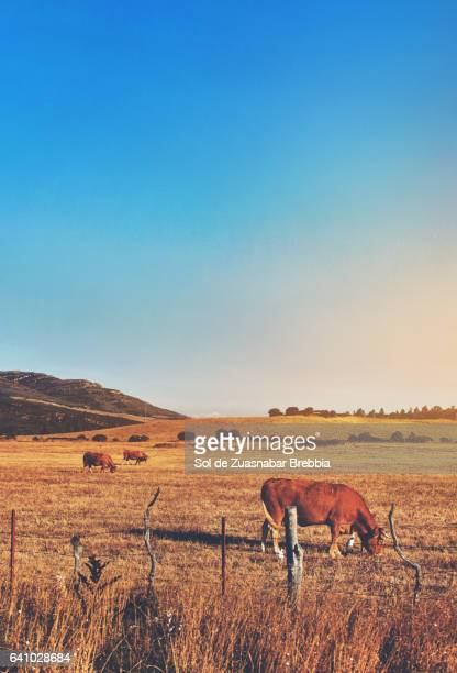 Beautiful image of field, with cows grazing and a huge sun coloring the sky