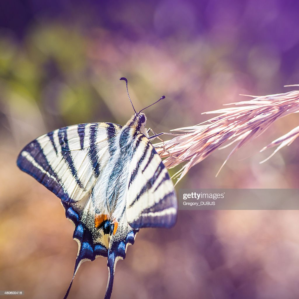 Beautiful Iphiclides podalirius butterfly on ear of corn : Stock Photo