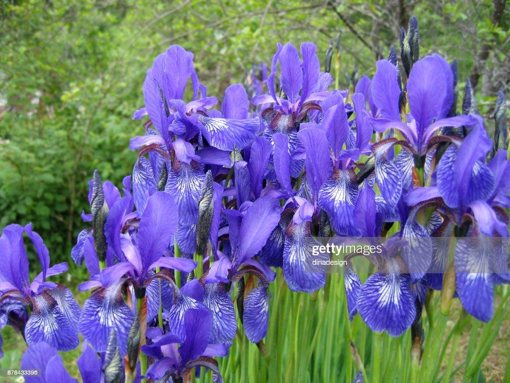 Beautiful iris flowers stock photo getty images beautiful iris flowers stock photo izmirmasajfo