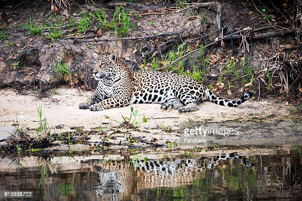 A beautiful jaguar, wetland, Brazil