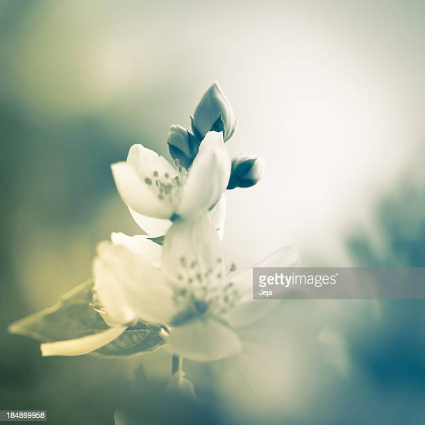 Magnifique Jasmine