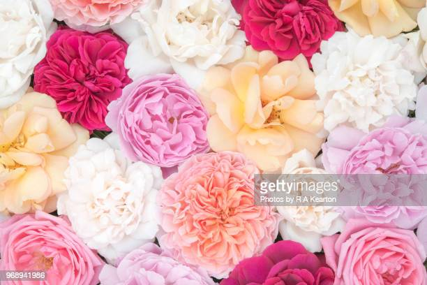 beautiful june roses in soft pastel colours - peach flower stockfoto's en -beelden