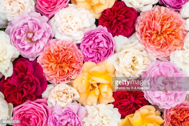 beautiful june roses in vibrant range of colours - peach flower stockfoto's en -beelden