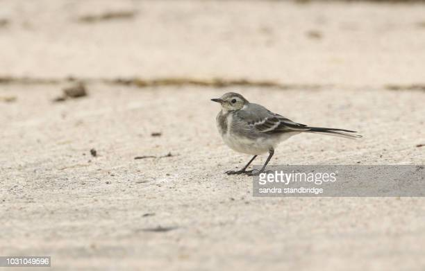 a beautiful juvenile pied wagtail (motacilla alba) perching on the ground hunting for insects to eat. - セキレイ ストックフォトと画像