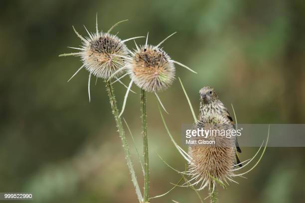 beautiful juvenile siskin bird spinus spinus on teasels in fores - forens stock pictures, royalty-free photos & images