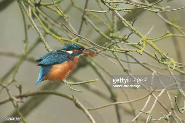 a beautiful kingfisher, alcedo atthis, is perching on a branch of a tree that is growing over a river with ts beak is open. - st. albans stock pictures, royalty-free photos & images