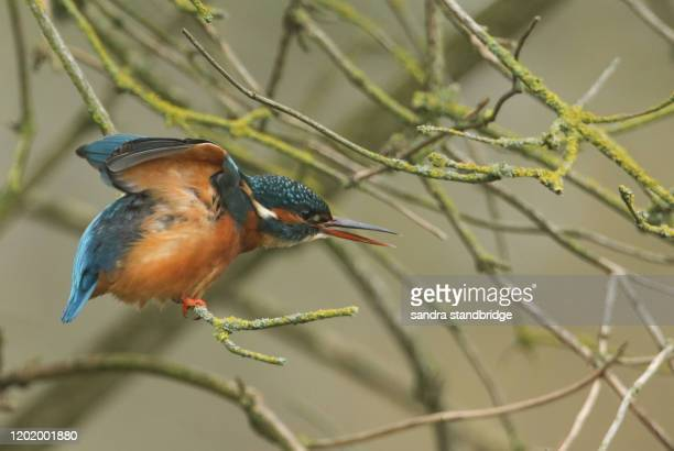 a beautiful kingfisher, alcedo atthis, is perching on a branch of a tree that is growing over a river. its beak is open and has raised wings. - st. albans stock pictures, royalty-free photos & images