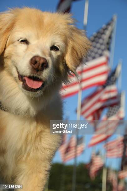 A beautiful Lab Cocker rescue dog stands among American flags