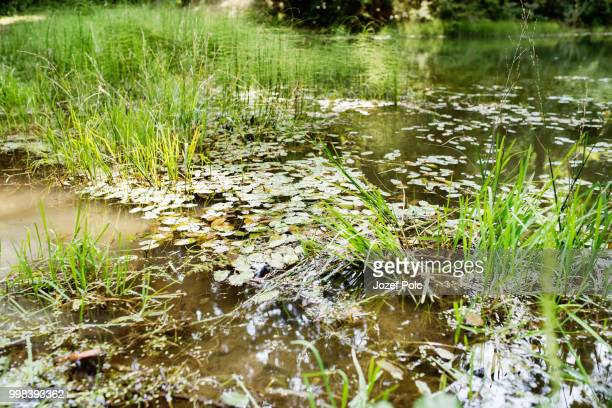 Beautiful lake with green lotus leafs and grass.