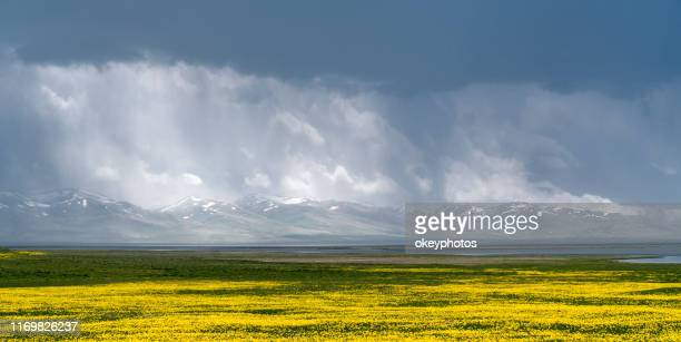 beautiful landscape of yellow flowers and cloudy sky - kyrgyzstan stock pictures, royalty-free photos & images
