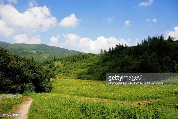 beautiful landscape view of sunflower field with blue sky and cloud - gangwon province stock pictures, royalty-free photos & images