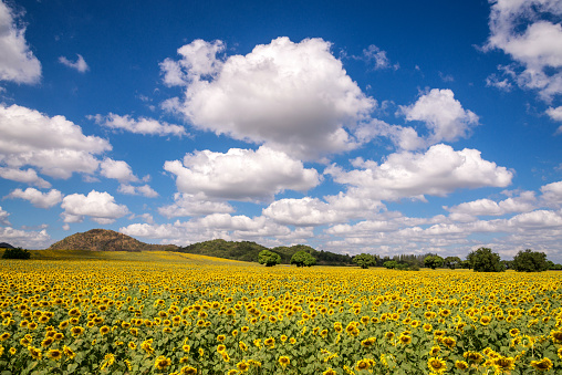Beautiful Landscape view of sunflower field with blue sky and cloud - gettyimageskorea