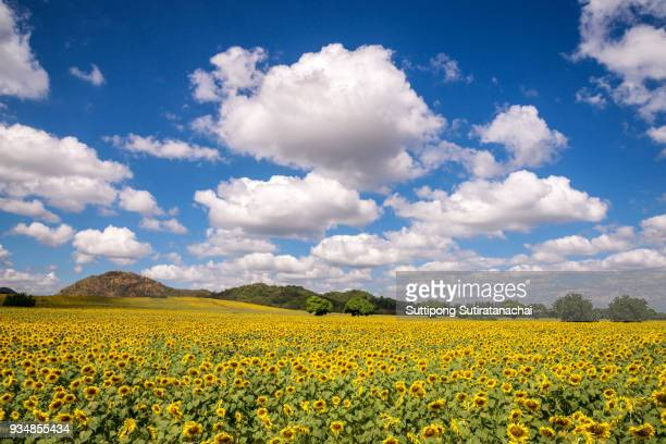 Beautiful Landscape view of sunflower field with blue sky and cloud