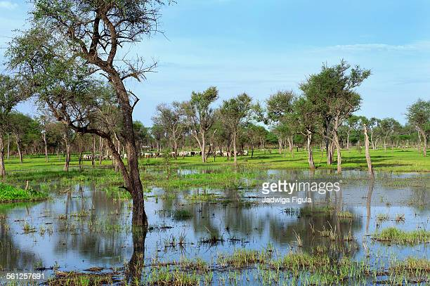 Beautiful landscape with cattle in South Sudan