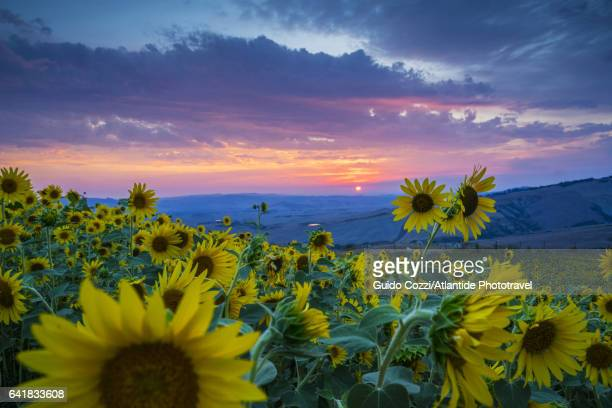 beautiful landscape with sunflowers - val d'orcia foto e immagini stock