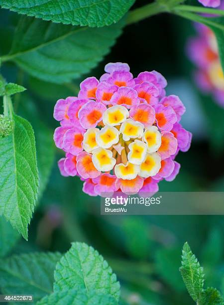 beautiful lantana with green leaves - lantana stock pictures, royalty-free photos & images