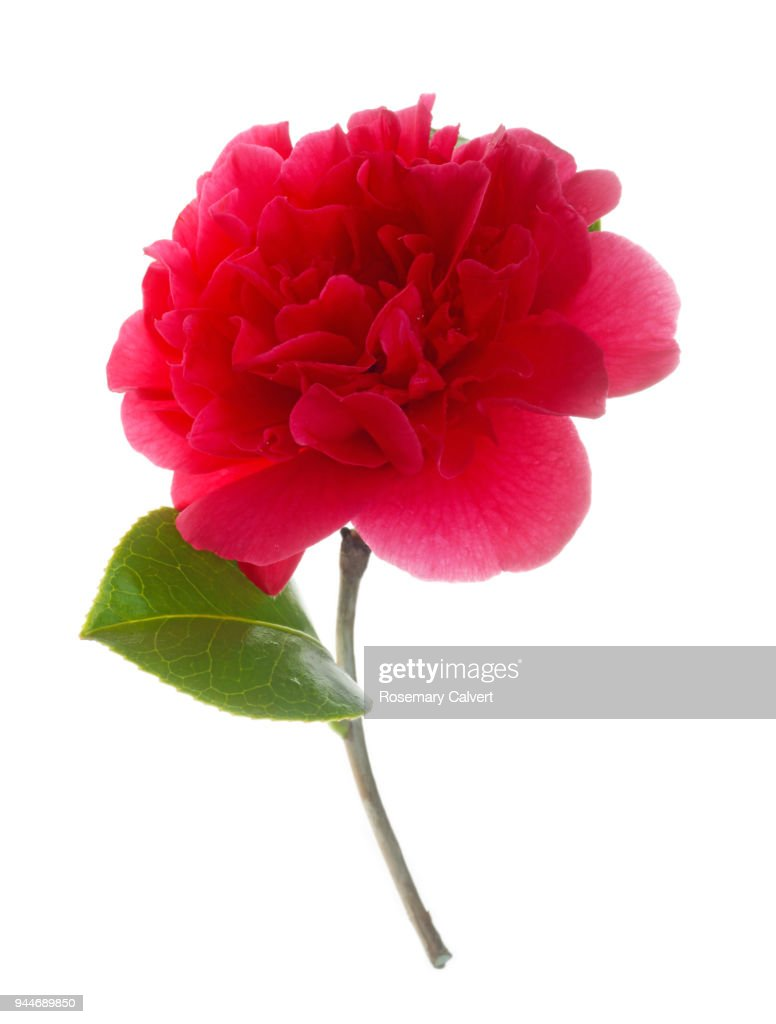 Beautiful Large Pink Camellia Flower On White Stock Photo Getty Images