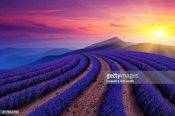 beautiful lavender field - lavender color ストックフォトと画像