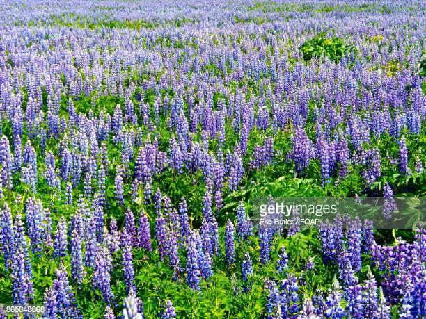 Beautiful lavender flower field