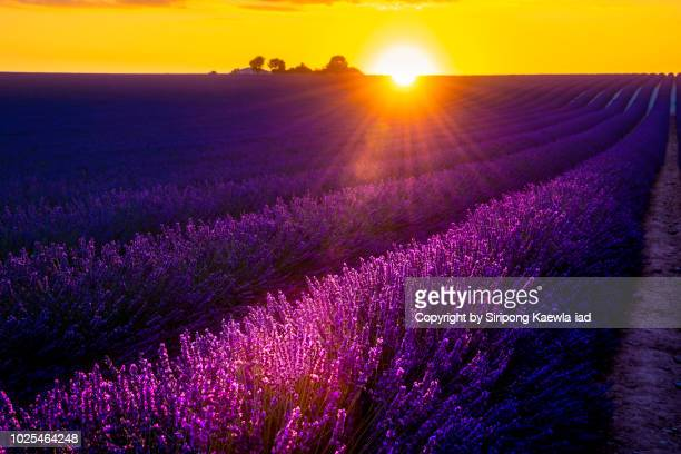 Beautiful lavender rows at sunset in Valensole, France.