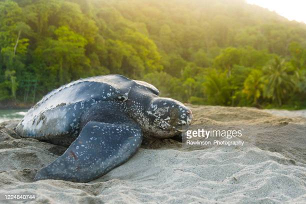 beautiful leatherback turtle - trinidad and tobago stock pictures, royalty-free photos & images