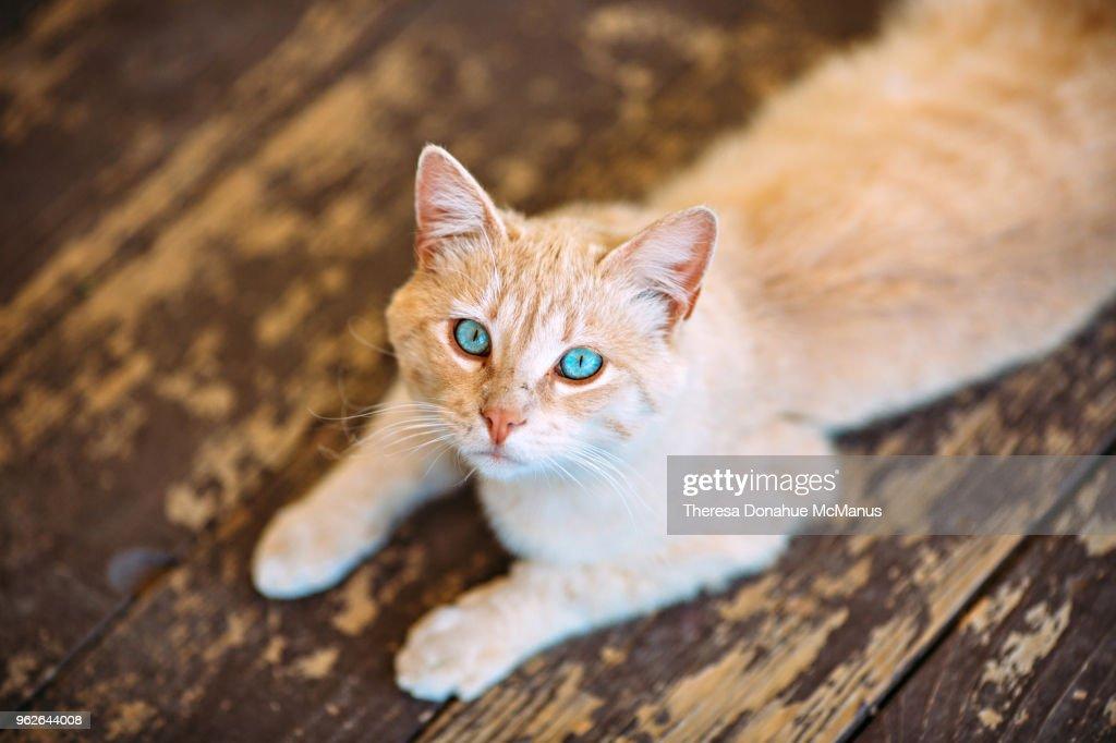 Beautiful light orange cat with stunning vivid sky blue eyes : Stock Photo