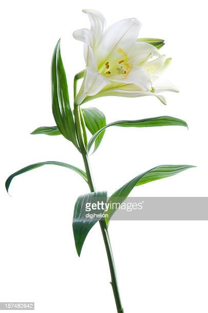 Beautiful lily flower on white.