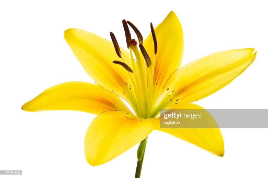 Beautiful lily on white. : Stock Photo