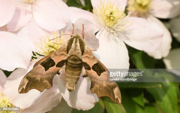 a beautiful lime hawk-moth (mimas tiliae) perching on clematis flowers. - papillon de nuit photos et images de collection
