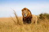 Beautiful Lion Caesar in the golden grass of Masai Mara